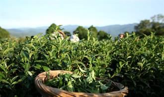 坪林茶葉新商機 包種茶推出立體茶包