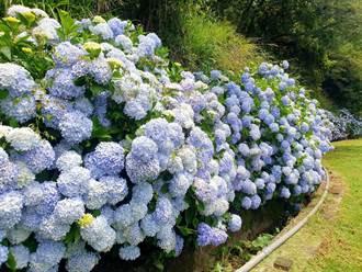 武陵繡球花盛開遊客不能來 殘花葬水打造禪意花池