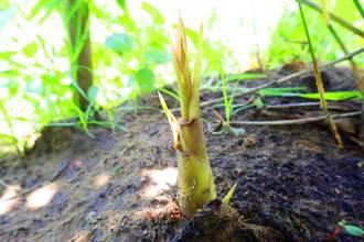兼顧防風林及生計 嘉義林管處擬推鹽化地種植烏腳綠竹