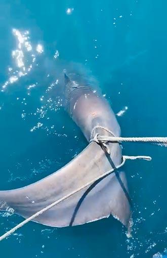 首例 巨口鲨误入刺网 花莲渔船助脱困