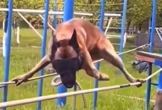 警犬考試有多難?矇眼懸空走繩索 怕到四肢狂抖惹網心疼