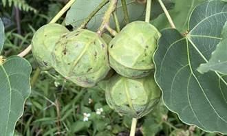 左化鵬》從油桐樹種籽看生命的循環