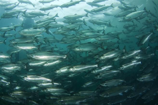 鮭魚的魚鱗像鏡面一樣會反射光束,但呈凝膠狀有點像蛋白的海蝨在雷射照射下,會變得硬脆並漂離。(示意圖/shutterstock)