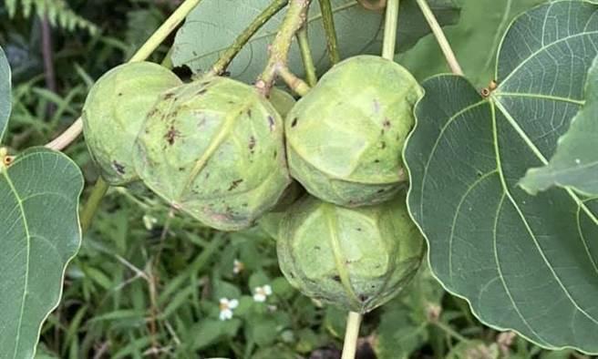 左化鵬》從油桐樹種籽看生命的循環。(愛傳媒提供)