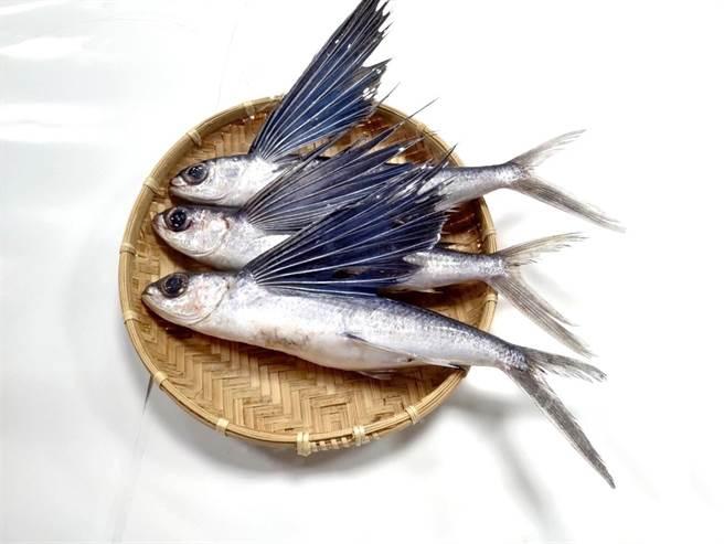 飛魚(又稱飛烏)是大洋表層性魚種,演化出特大的胸鰭,在受到驚嚇或是被掠食者(如鬼頭刀)追趕時會躍出水面展開胸鰭「滑翔」躲避,就像是「飛」在海面一樣。(新北市漁業處提供)