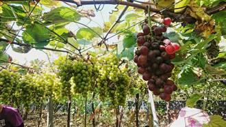 暴雨來襲!二林釀酒葡萄裂果五成 農民苦哈哈