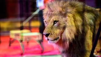 12頭公獅大亂鬥!馬戲團失控演出 500人目睹被嚇傻