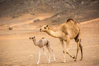 駱駝母子過馬路驚遇寶寶小偷 媽氣炸狂追真相超暖心