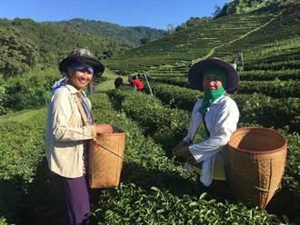 泰北台灣茶葉贈防疫醫護 陳以信揭背後洋蔥