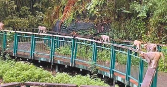 南投獼猴群聚成山大王 日管處籲遊客注意