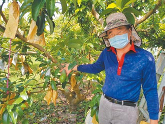 台南大內酪梨上市 農民憂疫情傷產銷
