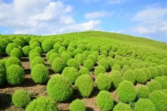 夏季必賞 茨城「常陸海濱公園」萬株小綠掃帚草接力報到