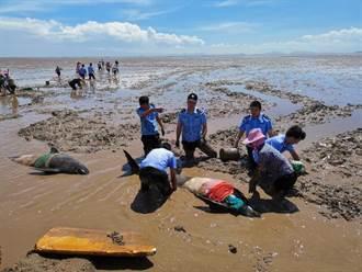 12頭短鰭圓頭鯨擱淺 浙江台州臨海搶救後已3亡