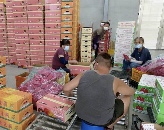 南化果樹產銷班芒果包裝場,分級包裝確保每顆芒果品質。(讀者提供/張毓翎台南傳真)