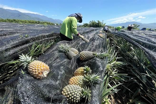 辛苦栽種18個月才採收的鳳梨,面臨血本無歸的困境,鹿鳴酒店透過直播幫忙小農。(莊哲權攝)