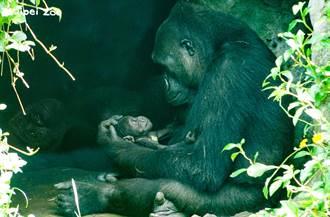 金剛猩猩「Iriki」變身超人媽媽 單手抱寶寶跑百米沒問題