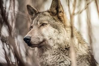 以為撿到皮包骨野狼 5個月後猛獸露真面目 驚覺誤會大了