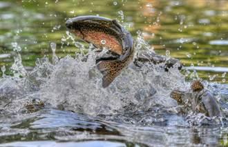 鱒魚嗑藥成癮竟是人類害的 專家曝戒斷症狀:這下慘了