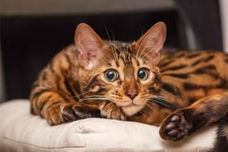 愛貓偷肉被抓包 溜進滾輪原地逃跑 同伴傻眼旁觀網笑翻