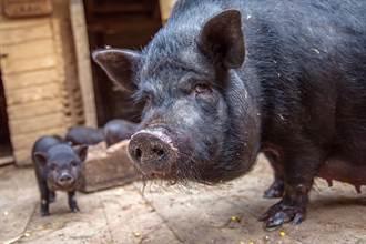 回家找不到1月大嬰兒 剩豬詭躺染血床 媽剖腹一看崩潰了
