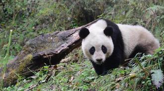 野生大熊貓增至逾1800隻 從瀕危降為易危