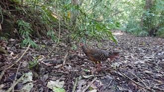 登山撿到3顆鳥蛋竟是藍腹鷴 民眾急送嘉義林管處照料今野放