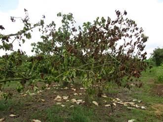 台南大內酪梨落果嚴重 農業局爭取天然災害救助
