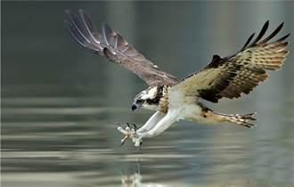 鳥界狠角色 老鷹靠近巢穴惹小鳥不滿 霸道站猛禽背上示威