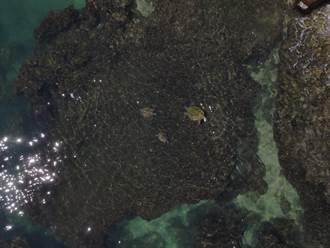 小琉球爆發「海龜風暴」 破紀錄805頭!自行解封