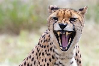 保育員餵獵豹反被當食物 手臂遭狂啃 曝驚悚攻擊瞬間