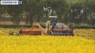 旅月「太空稻」收割了 將成大陸原創水稻新品種