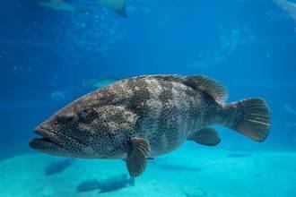 2M石斑不怕死尾隨4M猛鱷 魚販一看無奈嘆:沒有天敵