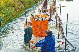 台南虱目魚將收成 產地價可望漲2成