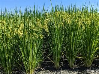 芋香水稻抗褐飛蝨 新品種「台農85號」來了