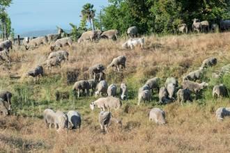加州對付森林野火  有請山羊「吃草」清出防火線