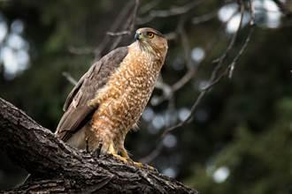 俄勒岡州酷暑 上百猛禽幼鳥熱到墜巢