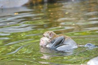 猴群戲水消暑 景區水域仍暫封