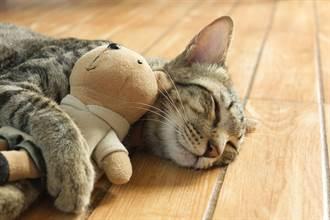 家中絨毛娃娃常詭異移動 飼主觀察愛貓才知暖心真相