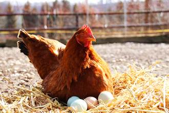 孔雀媽下了蛋就跑 2母雞當「代理孕母」幫孵8幼崽
