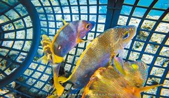 台東魚腹植入發報器 水試所探索魚生態