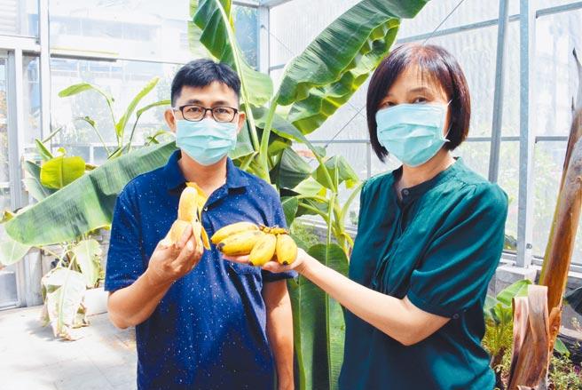 台灣香蕉研究所內稀有的蘭嶼蕉近來熟成,不易褐變特性被視為極具加工潛力。(林和生攝)
