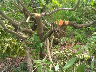 台南龍眼木價錢好 慣竊大費周章鋸樹終被逮