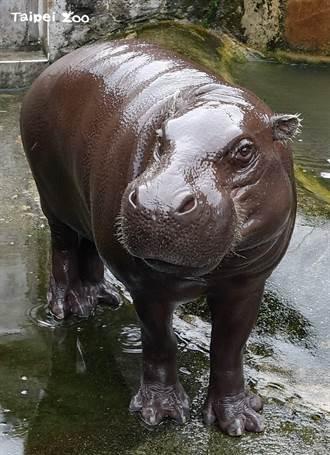 不受疫情影響! 北市立動物園侏儒河馬赴美國保育合作