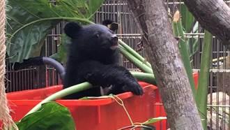 台東Mulas小熊回歸山林 首例追蹤頸圈野放成功