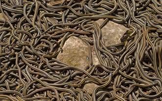 床底冒出會動毛球伸手去撿 驚覺18條蛇縮成團狂蠕動