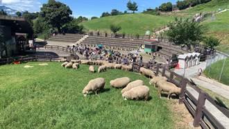 微解封周末 500遊客衝清境農場 搶看綿羊秀