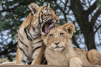 與小獅子當朋友 一放飯幼虎就翻臉 搶食被抓包超厭世
