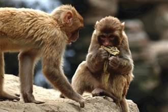 大陸出現首例人類確診「猴B病毒」 感染逾兩月後不治
