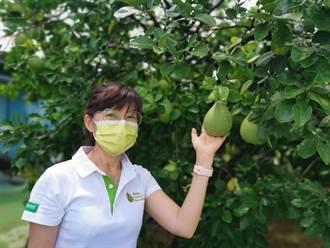 台南市文旦大賽19日報名開跑 柚農準備大顯身手