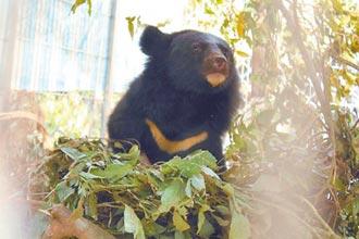 解除追蹤項圈 台東Mulas小熊回歸山林